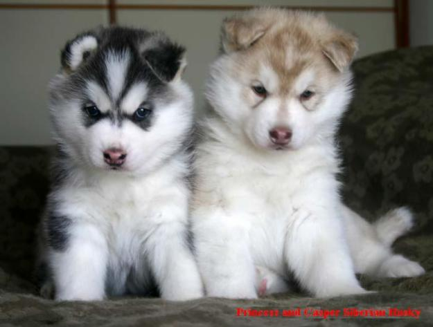 husky puppies pictures. husky puppies - Cumberland